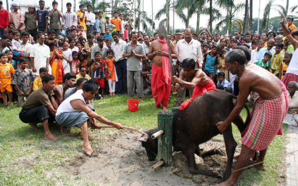 A buffalo is beheaded by Hindu priests at a Durga temple. Photo credit: International Business Times