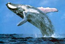 The International Whaling Commission banned the hunting of blue whales in 1966. Photo credit: Wall Street OTC