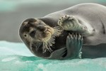 Wildlife, gallery, wildlife gallery, wildlife photographer of the year, competition, bearded seal