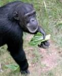 Chimpanzees, chimps, animal sanctuaries