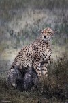 Wildlife, gallery, wildlife gallery, wildlife photographer of the year, competition, cheeta, rain