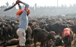 A Hindu devotee slaughters a buffalo as an offering to a Hindu goddess. Photo credit: AFP/Getty