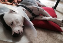 Pitbull, dog, dogs, pictures, injured dogs, dog cone