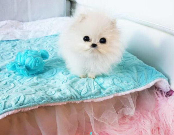 Paris Hilton's teacup pomeranian can actually fit into a teacup. Photo credit: Petflow.com