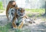 Tigers at Black Beauty Ranch