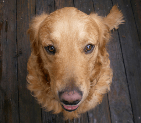 Labrador Retrievers come in second place at most popular breed! Photo credit: Trupanion
