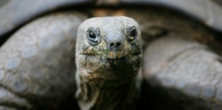 The Espanola giant tortoise can live over 100 years. Photo credit: Time