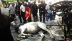 A horse collapses in San Juan because it collided with a car. Photo credit: Their Turn