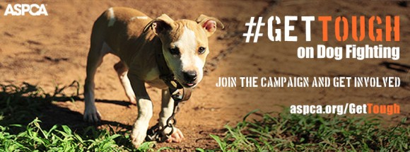 Pitbulls are a targeted breed in dog fighting. Photo credit: ASPCA