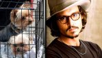 Johnny Depp and pet dogs, Yorkshire terriers