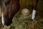 Barnyard Friends, Charlie the pig with race horse Strong Impact