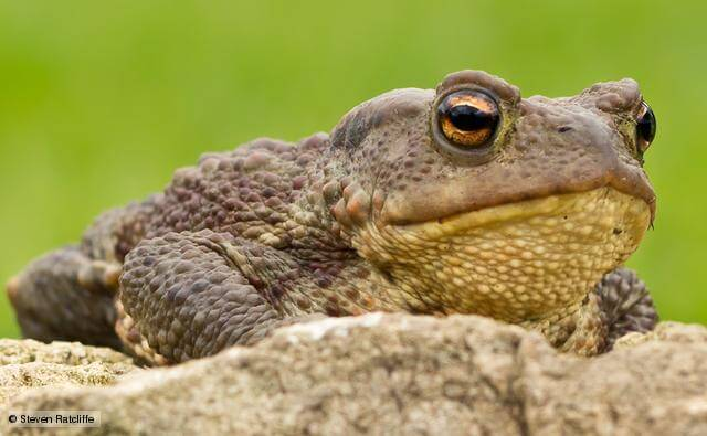 Toads may gather into groups before a quake occurs. Photo credit: BBC Nature