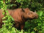 No wild Sumatran Rhino has been found in Malaysia since 2007. Photo Credit: World Wild Life Foundation