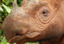 Fewer than 100 Sumatran rhinos remain in the wild. Photo Credit: World Wild Life Foundation