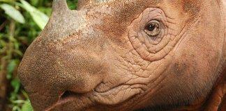 Fewer than 100 Sumatran rhinos remain in the wild. Photo Credit: World Wild Life Foundation