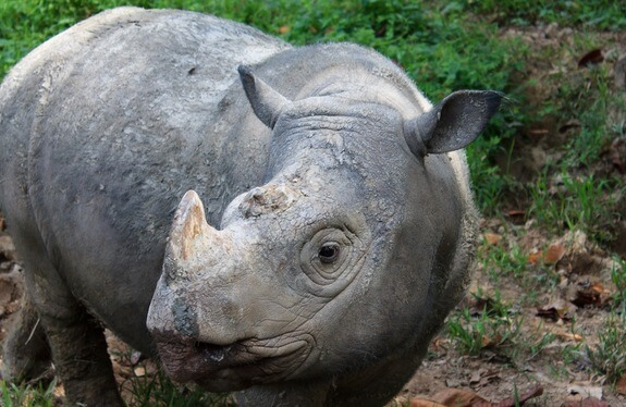 Poaching is a major cause of rhino population decline. Photo credit: Rasmus Gren Havmøller