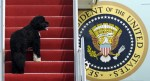 First Dog Bo Obama climbs stairs of Air Force One AP Photo