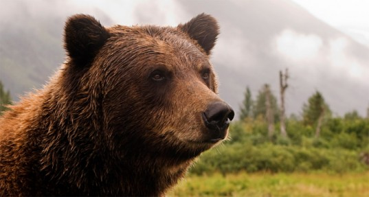 Yellowstone Bears Facing A Grizzly Future