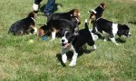 litter of seven beagle puppies born by IVF