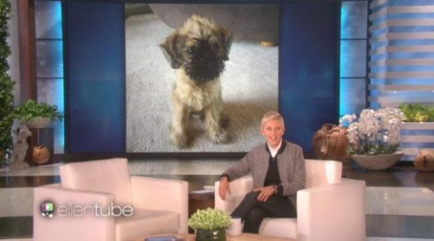 Ellen DeGeneres and Portia de Rossi have adopted a nine-week-old puppy named Kid. This is their third pup to join their blooming family. Photo Credit: EllenTube