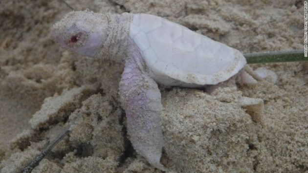 Alby, the albino green turtle Photo Credit: Coolum District Coast Care Group