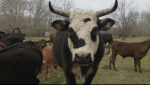 cattle ranch cow