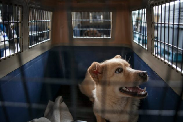 A rescued dog waits for a flight out of Seoul. Photo Credit: Jean Chung via New York Times