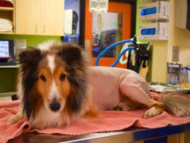 Ollie the Collie is mobile again after a sharp-eyed veterinary intern spotted a tick whose bite was causing paralysis for the dog. Photo Credit: Dove Lewis Emergency Animal Hospital