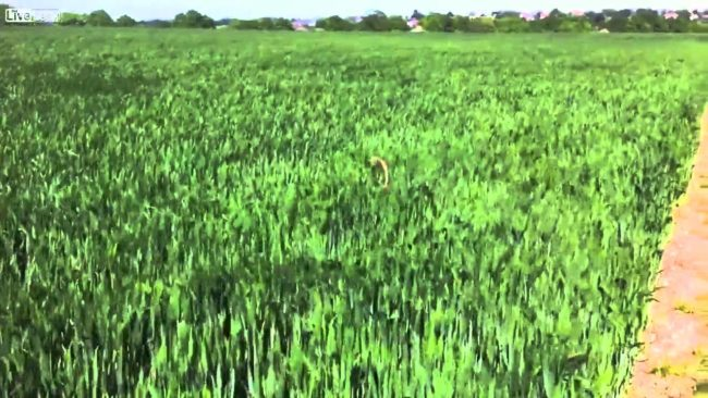 Dog Leaps Through Field Of Grass