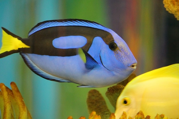 "As the film ""Finding Dory"" is released, scientists are wary that the blue tang fish, like Dory, will be fished out to extinction. Photo Credit: kjschroeder/Pixabay"