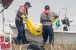 wildlife officials move an alligator into boat in search of boy's body