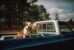 american pit bulls in back of pickup truck