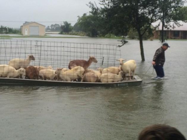 David Smith saves sheep on Emar drive from Louisiana flooding. Photo Credit: KATC-TV 3 via Facebook