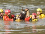 LSART Louisiana State Animal Response Team rescues a horse in floodwaters