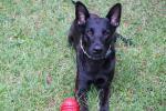 dutch-shepherd-niklaus-retired-nfl-player-brian-schaeferings-service-dog