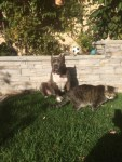 lulu-the-pitbull-and-omar-the-cat-hang-out-in-the-grass-yard
