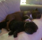 lulu-the-pitbull-cuddles-with-stanley-the-dog-on-the-couch