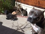 lulu-the-pitbull-hangs-out-with-family-outside