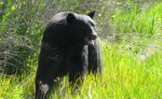 black-bear-safe-again-in-wild-after-being-rescued-from-drowning