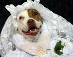 happy-pit-bull-wearing-weading-veil-and-dress