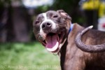 happy-smiling-pitbull