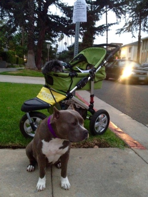 Lulu is patient with her family members with disabilities. Here she is waiting to walk with Stanley in the Dogger (recovering from other elbow surgery)!