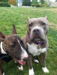 lulu-the-pitbull-plays-in-yard-with-other-dog