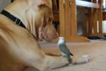 pit-bull-dog-friends-with-parakeet-bird