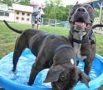 pit-bull-dogs-in-kiddie-pool