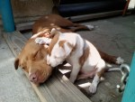 pit-bull-puppy-comforts-another-pitbull