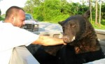 rescued-bear-groggy-after-being-shot-with-tranquilizer