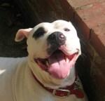 smiling-black-and-white-pit-bull-dog