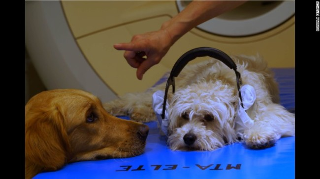 Two dogs learn how to sit still in the MRI machine as they participate in the study. Photo Credit: CNN