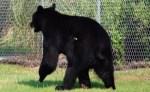 wildlife-officials-shoot-black-bear-with-tranquilizer-dart
